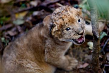 Wall Mural - Cute Lion baby, 10 days old, in a hole in Masai Mara, Kenya