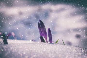 First spring flowers, purple crocus or saffron growing from the snow, natural floral vintage background with falling snowflakes