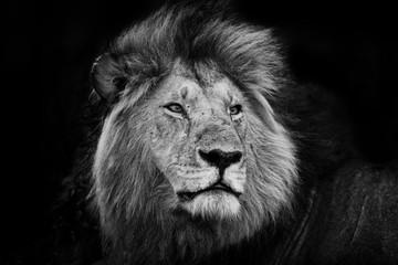 Portrait of one of the Black Rock Lions in Masai Mara, Kenya
