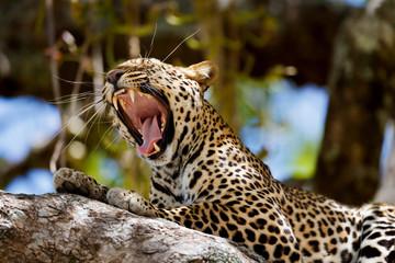 Wall Mural - Portrait of Yawning Leopard Lukuka in the tree in Masai Mara, Kenya
