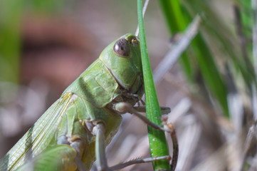 Grasshopper on the stem in the grass close up. Life in the wild, macro. Soft focus