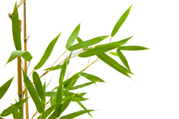 green leaves of bamboo and branch diagonally on white background