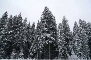 Forest while snowing in winter