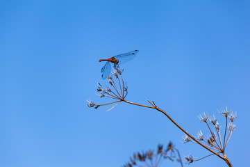 Insect Flight Break / Dragonfly insect resting at dry umbel blossom plant part, blue sky background (copy space)