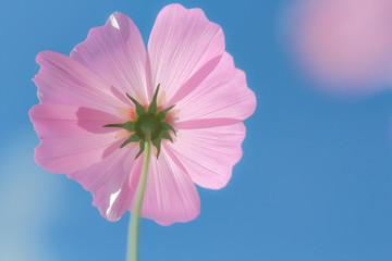 Fond de hotte en verre imprimé Rose banbon Cosmos flowers blooming.