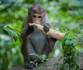 Baby monkey eating corn cob in Sri Lanka