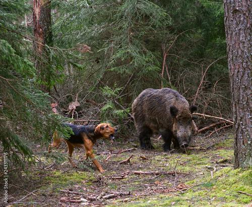 Hunting dog attack wild boar