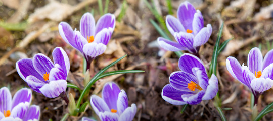 Poster Krokussen Purple crocuses in spring garden. Easter background.