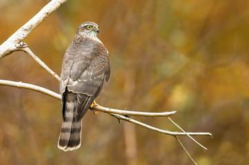 Euarsian sarrowhawk (Accipiter nisus)