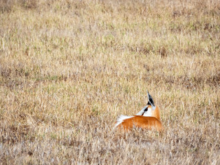 Springbok (Antidorcas marsupialis) standing in veld