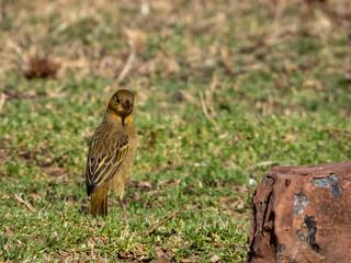 Yellow bird on ground