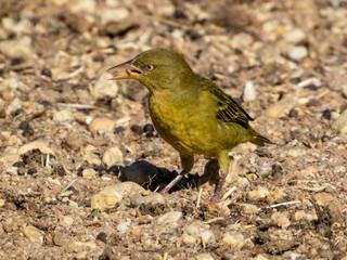 Yellow bird eating something