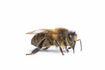abeille sur fond blanc