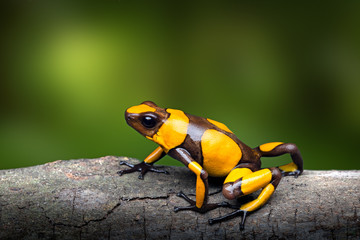 Yellow banded poison dart frog, Oophaga histrionica. A small poisonous animal from the rain forest of Colombia with a bright warning color.
