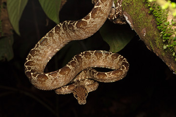 tropical snake, tree boa Corallus hortulanus a serpent of the Amazon rain forest in Colombia, Brazil and Ecuador