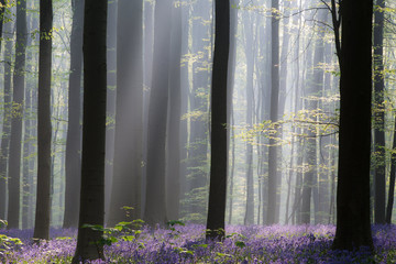 Early morning first sun light in a spring forest covered with violet bluebell wild flowers. .