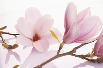 Delicate pink deciduous magnolia blossoms