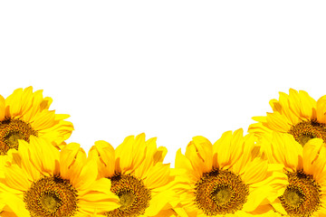 Blooming sunflowers on a white background.  Isolated flowers