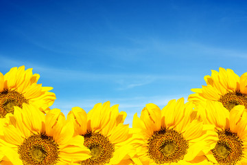 Amazing developing sunflowers against the sky.  Blooming sunflowers on a sky.