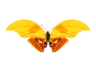 tropical butterfly with yellow and orange wings. isolated on white background