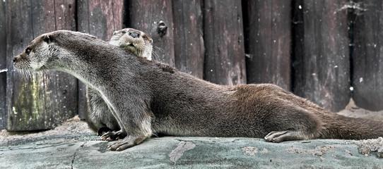 Eurasian otter. Latin name - Lutra lutra