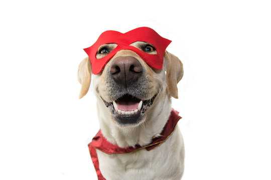 DOG SUPER HERO COSTUME. LABRADOR CLOSE-UP WEARING A RED MASK AND A CAPE.  CARNIVAL OR HALLOWEEN. ISOLATED STUDIO SHOT AGAINST WHITE BACKGROUND.