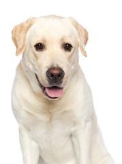 Labrador retriever Dog on Isolated White Background in studio