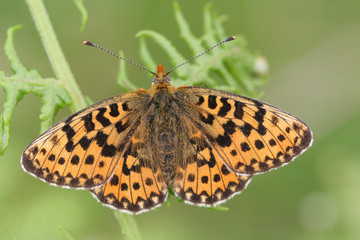 A Pearl-bordered Fritillary Butterfly (Boloria euphrosyne) with open wings perched on bracken.