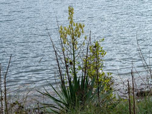 Yucca Gloriosa Le Yucca Superbe Avec Ses Panicules Portant Des
