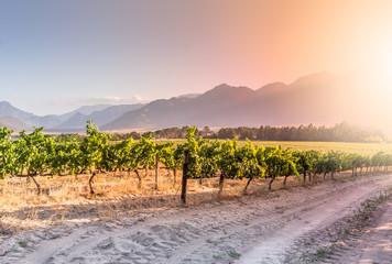 Grape vines in the sunset in a vineyard near Wemmershoek, Western Cape South Africa