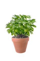 basil in terracotta pot isolated on white background