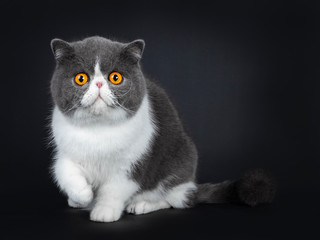 Blue with white cute Exotic shorthair cat kitten sitting facing front, one paw lifted in air. Looking with big round bright orange eyes straight in camera. Isolated on black background.