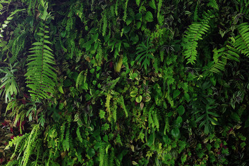 Wall Mural - Vertical garden nature backdrop, living green wall of devil's ivy, ferns, philodendron, peperomia, inch plant and different varieties tropical rainforest foliage plants on dark background.