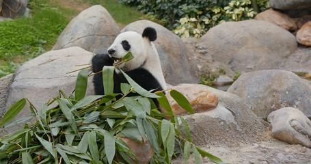 Fototapete - Cute Panda eat green bamboo