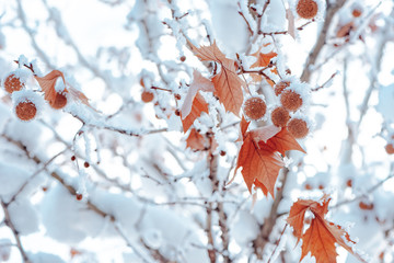 Maple tree covered in snow