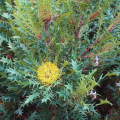 Banksia armata known as Prickly Dryandra endemic to Western Australia