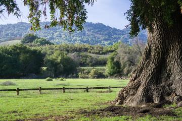 Old California bay laurel tree on a green meadow; deer grazing in the background, Rancho San Antonio County Park, Santa Cruz mountains, Cupertino, California