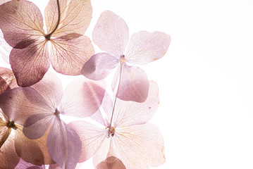 Photo sur Toile Hortensia pink hydrangea flowers on the white background. floristic concept