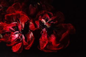 Dry tulip in black background, Dry flower
