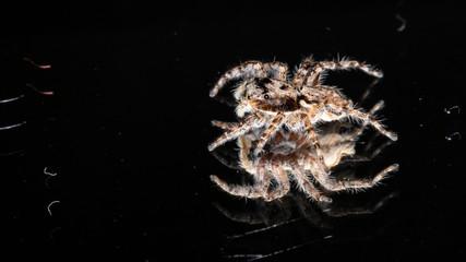 Gray Wall Jumping Spider (Menemerus bivittatus)
