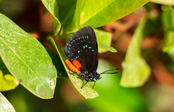 Atala butterfly (Eumaeus atala florida) on leaf - Pembroke Pines, Florida, USA
