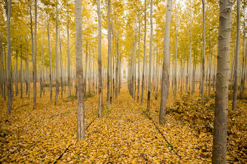 Scenic view of trees amidst yellow fallen leaves in forest during autumn