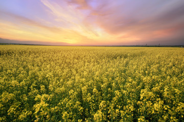 canola field rapeseed plant / sunset time photon image mid-summer