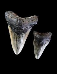 Megalodon Shark Teeth.