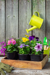 Seedlings of garden plants and flowerpots flowers in wooden crate. Garden equipment. Hanging watering can with pink Dahlia flower on old wooden wall of garden shed.