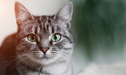 Close-up portrait of shorthair grey cat with green eyes.