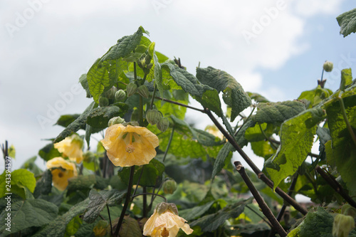 Yellow Bell Shaped Flowers Hanging From A Tree In Colombia Stock