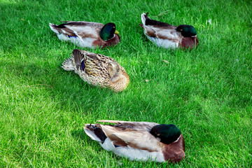 The lying ducks are sleeping on a green lawn.