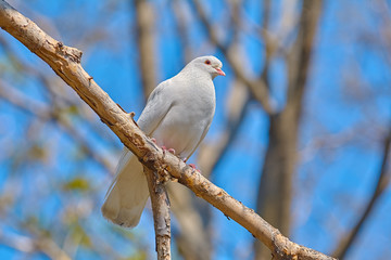 White dove on the brunch