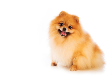 Portrait of cute pomeranian spitz on white background